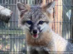 fox kit was rehabilitated