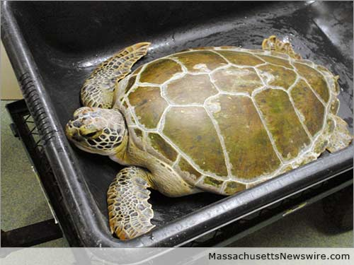 Stranded Sea Turtles at Cape Wildlife Center