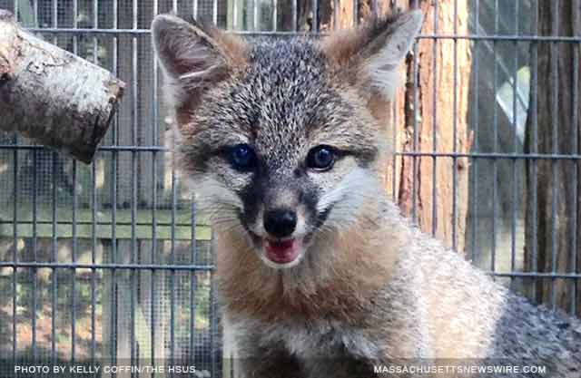 fox kit was rehabilitated